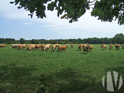 PAYS DE LA LOIRE. Organic dairy farm with Jesey cows