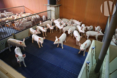 Région Poitou-Charente. Production porcine en Multiplication